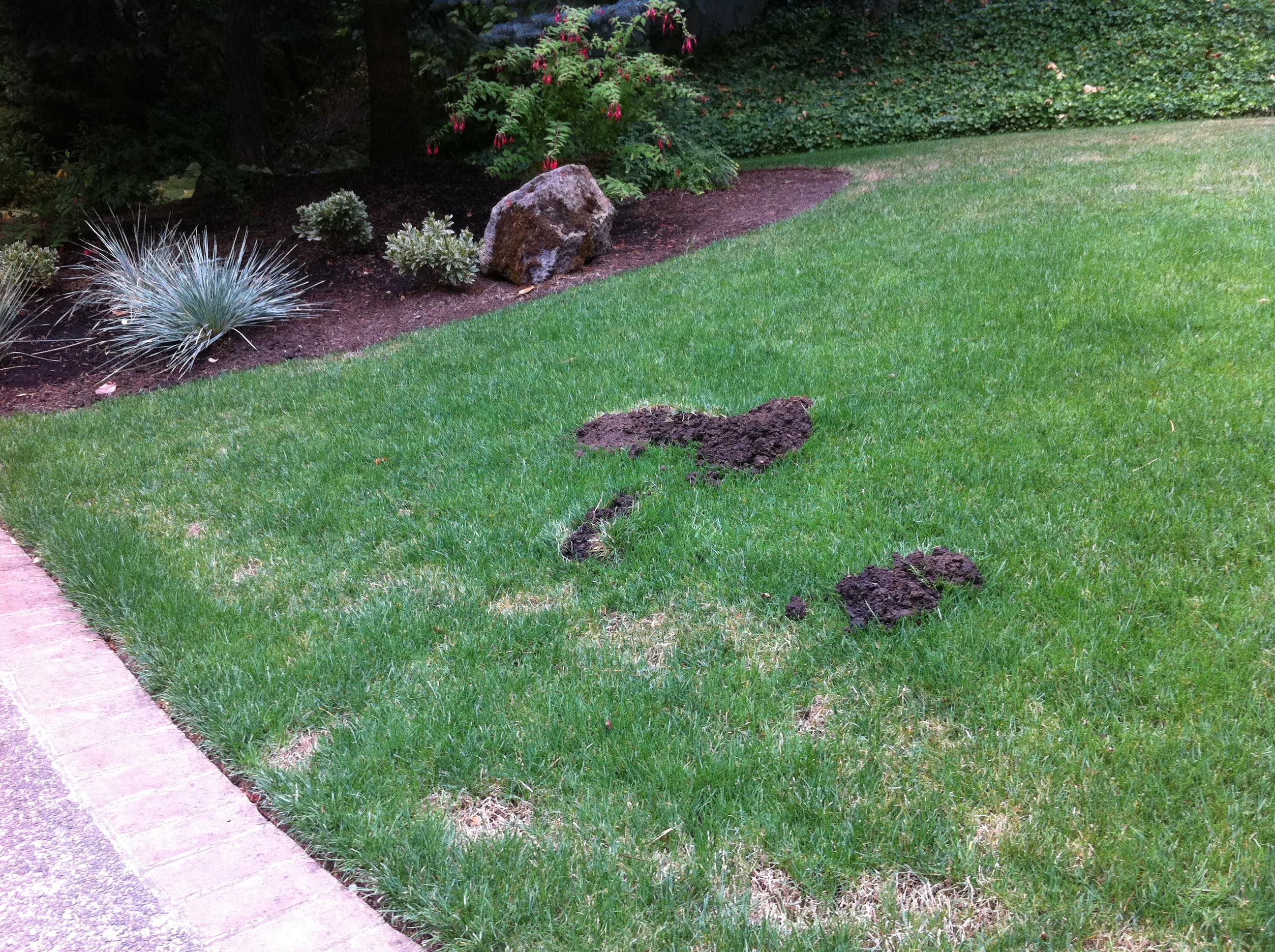 gopher mole mounds
