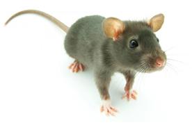 Rat Removal Portland